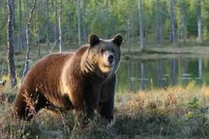 Incontro con gli orsi e tour individuale con Agamatour